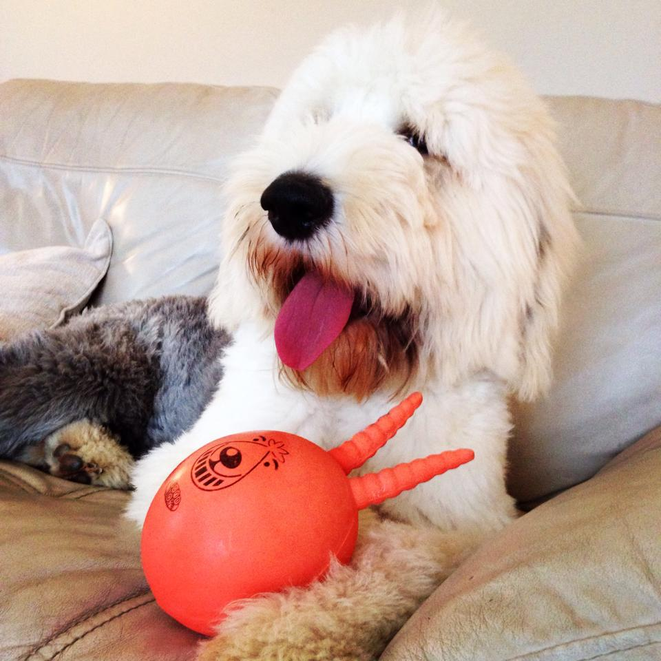 old english sheepdog sitting with a ball
